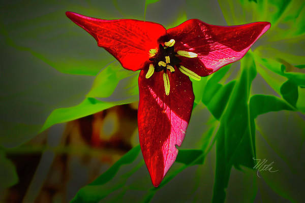 Photograph - Red Trillium by Meta Gatschenberger