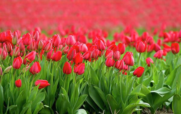 Keukenhof Wall Art - Photograph - Red Tulip Fields, Lisse, Nederland by Gaston Piccinetti