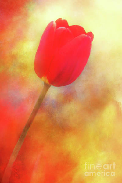 Photograph - Red Tulip Reaching For The Sun by Anita Pollak