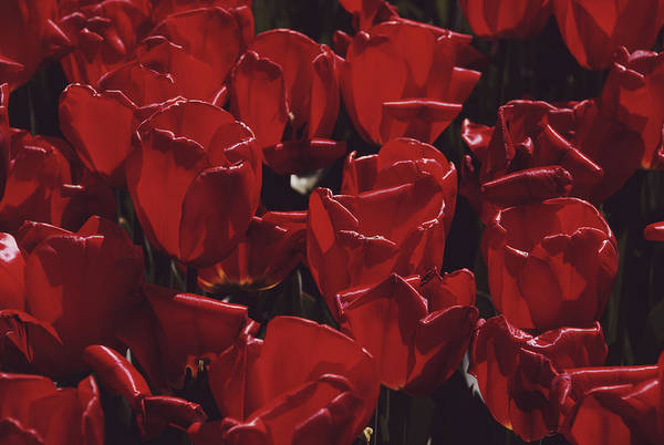 Photograph - Red Tulips by Alfred Gescheidt
