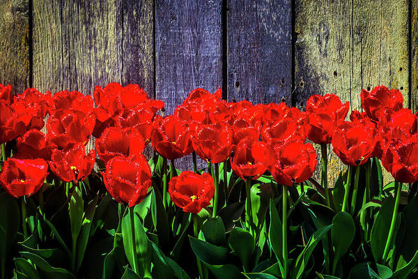 Wall Art - Photograph - Red Tulips And Wooden Fence by Garry Gay
