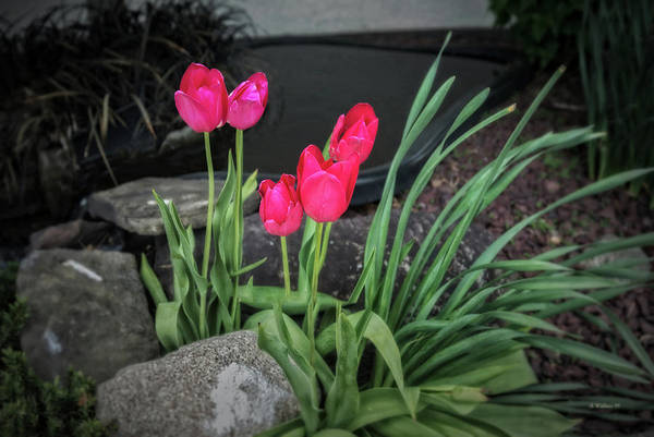 Wall Art - Photograph - Red Tulips by Brian Wallace