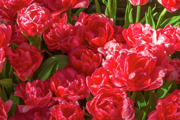 Photograph - Red Tulips In Bloom 2 by Bonnie Follett