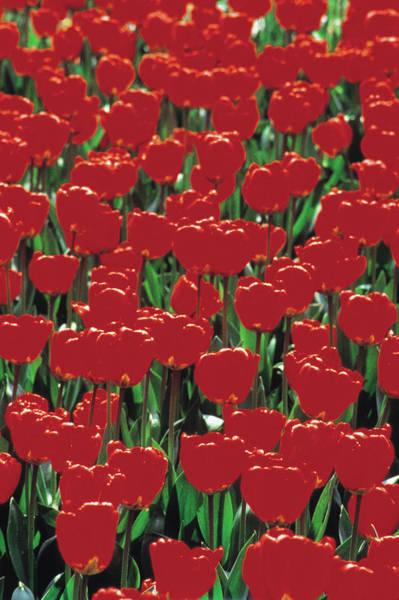 Dutch Tulip Photograph - Red Tulips by John Foxx