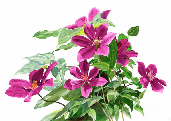 Wall Art - Painting - Red Violet Clematis by Sharon Freeman