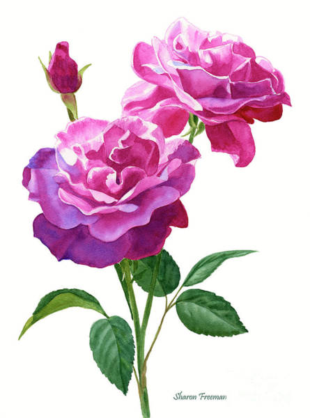 Violet Painting - Red Violet Roses With Bud On White by Sharon Freeman
