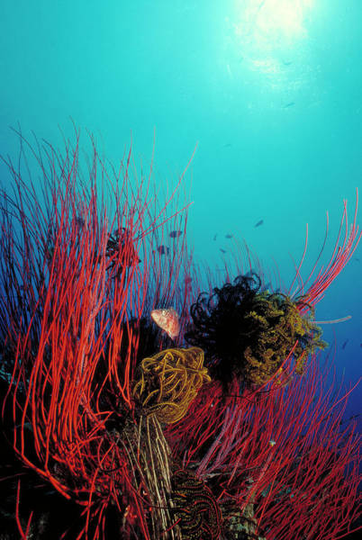 Kimbe Bay Wall Art - Photograph - Red Whip Reef by Tammy616