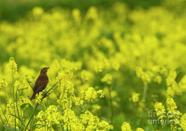 Wall Art - Photograph - Red Wing Black Bird Among Yellow  by Ruth Jolly