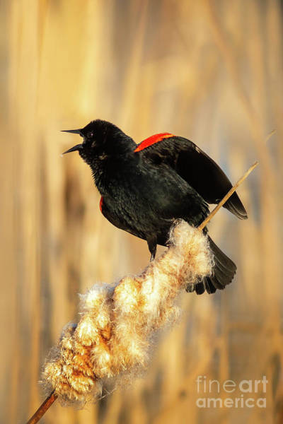 Wall Art - Photograph - Red Wing Black Bird Calling by Todd Bielby