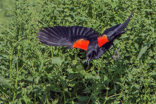 Photograph - Red-winged Black Bird 7715-042119 by Tam Ryan