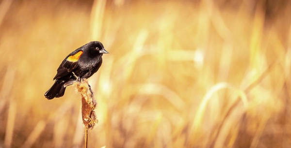 Photograph - Red Winged Black Bird by Philip Rispin