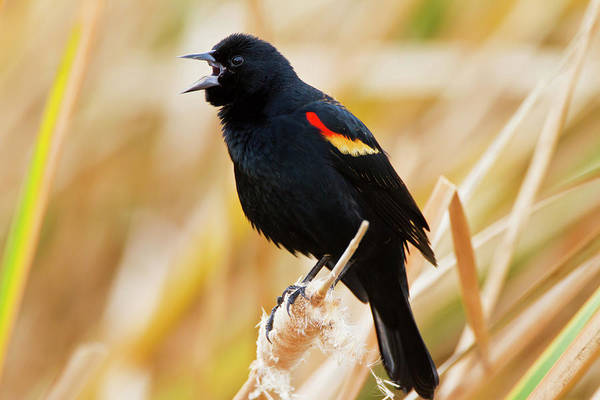 Red-winged Blackbird Wall Art - Photograph - Red-winged Blackbird Agelaius by Danita Delimont