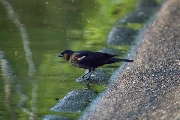 Photograph - Red-winged Blackbird At Water's Edge, No. 1 by Belinda Greb