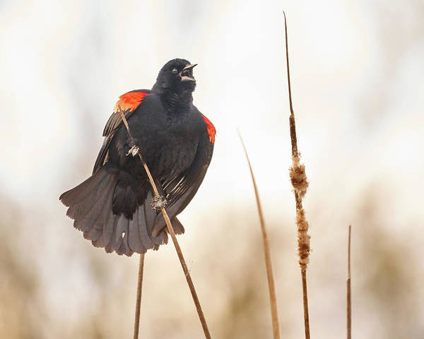 Red-winged Blackbird Wall Art - Photograph - Red-winged Blackbird Claims His Spot by Jim Hughes