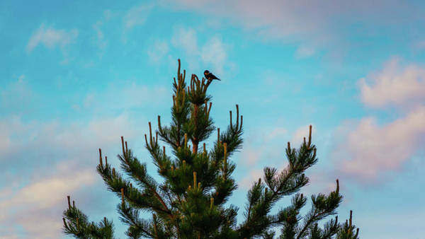 Photograph - Red Winged Blackbird In A Conifer Tree by Jeanette Fellows