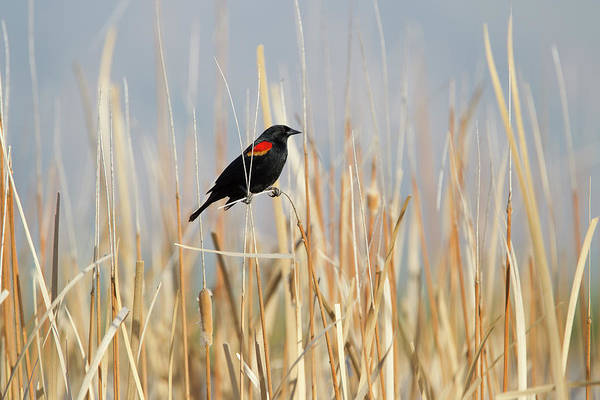 Red-winged Blackbird Wall Art - Photograph - Red-winged Blackbird In Reeds by Susangaryphotography