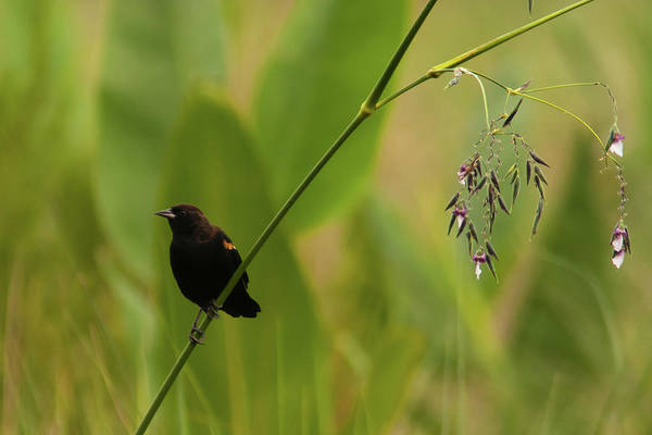 Photograph - Red-winged Blackbird On Alligator Flag by Paul Rebmann