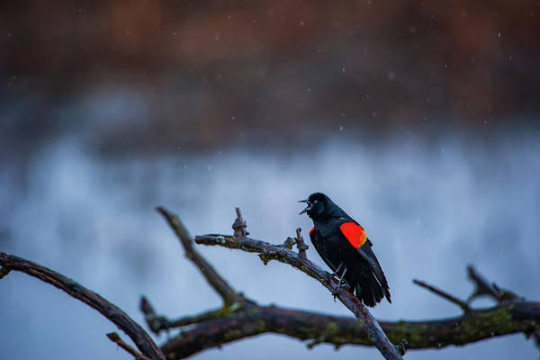 Photograph - Red-winged Blackbird Protests by Jeff Phillippi