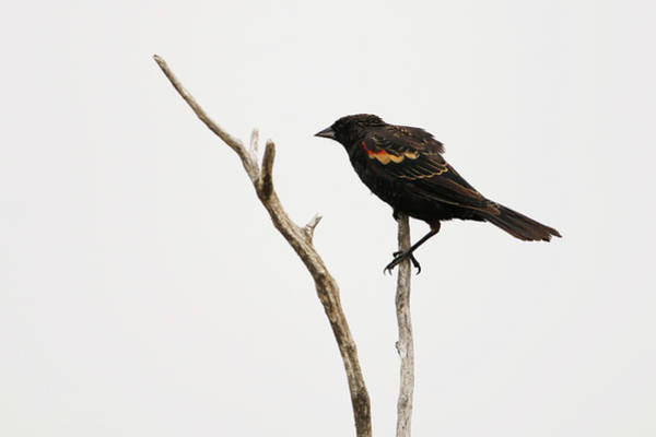 Photograph - Red Winged Blackbird by Ryan Crouse