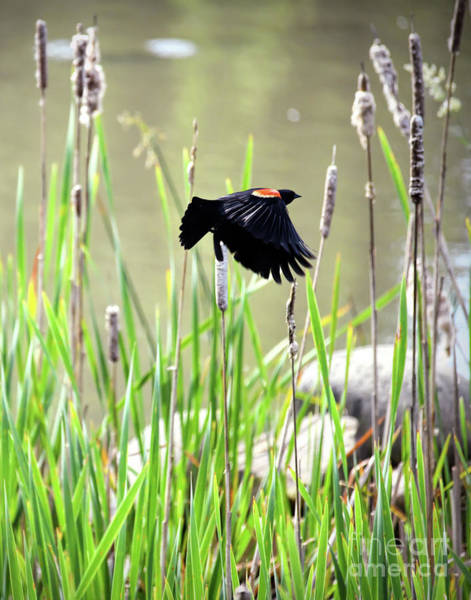 Photograph - Red-winged Blackbird - Wings In Flight by Kerri Farley