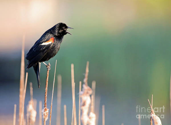 Wall Art - Photograph - Red-winged Singing by Steve Gass