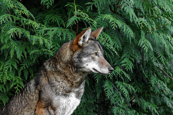 Photograph - Red Wolf by Wes and Dotty Weber