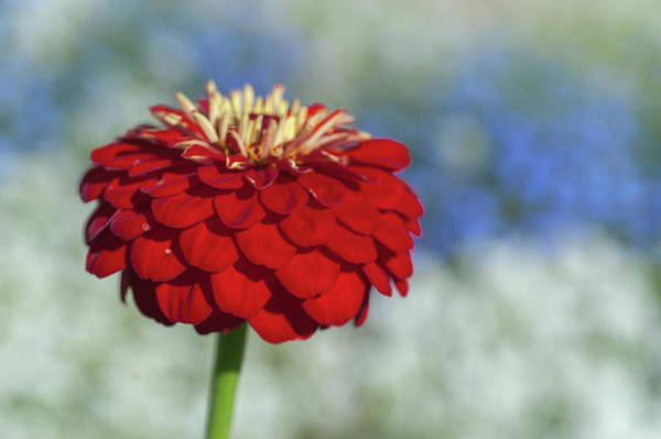 Photograph - Red Zinnia Elegans by Jenny Rainbow