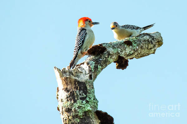 Photograph - Red_bellied Woodpecker by Michael D Miller
