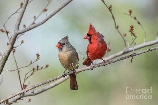 Wall Art - Photograph - Redbird Mates by Bonnie Barry