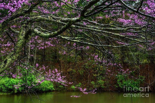 Photograph - Redbud And Pond by Thomas R Fletcher