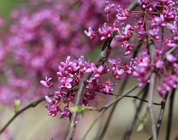 Photograph - Redbud Blooms by Angela Murdock