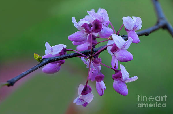 Wall Art - Photograph - Redbud Blossoms On Branch 4243fs_8t by Doug Berry