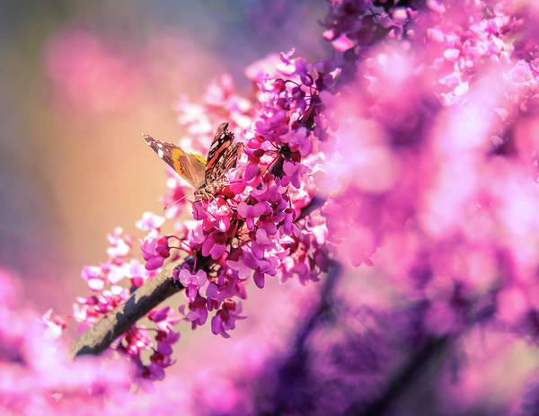 Photograph - Redbud Butterfly by Dan Sproul