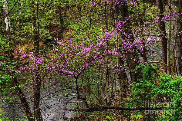 Photograph - Redbud Clinging To Hillside by Thomas R Fletcher