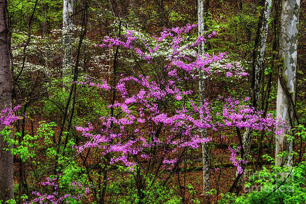 Photograph - Redbud Dogwood And Sycamore by Thomas R Fletcher