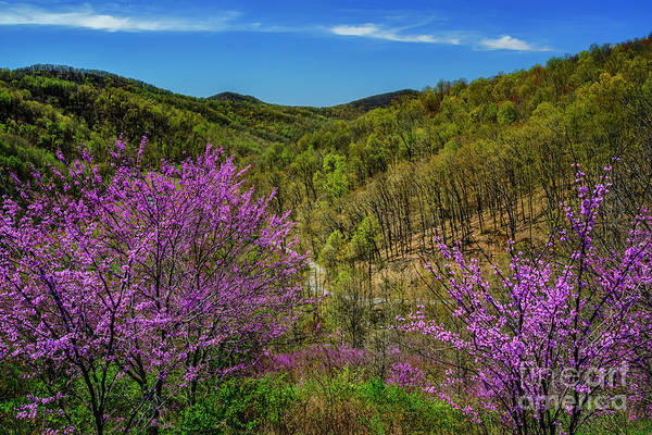 Photograph - Redbud On The Mountain by Thomas R Fletcher