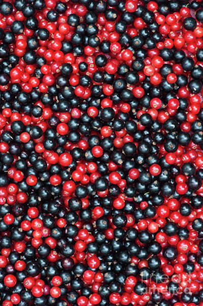 Photograph - Redcurrants And Blackcurrants by Tim Gainey