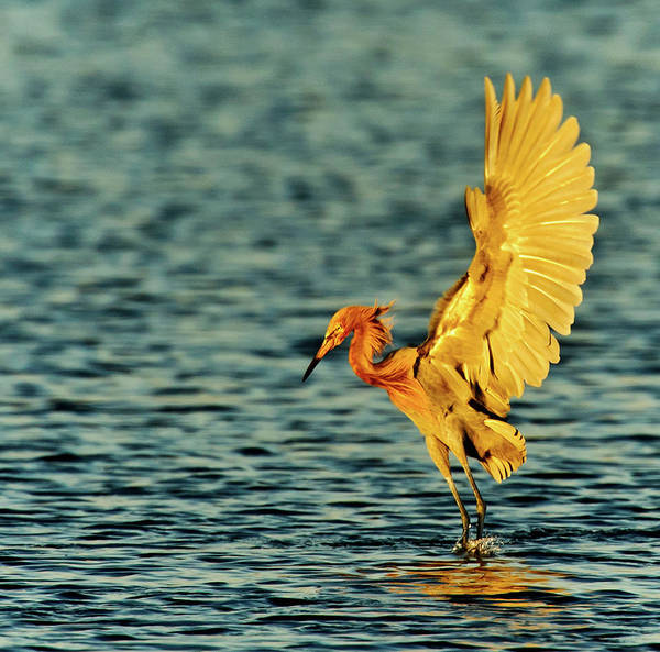 Taking Off Photograph - Reddish Egret In Evening Light by Myer Bornstein - Photo Bee 1