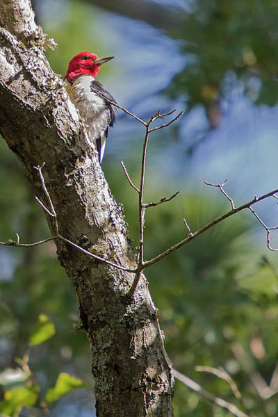 Photograph - Redhead Woodpecker by Bob Decker
