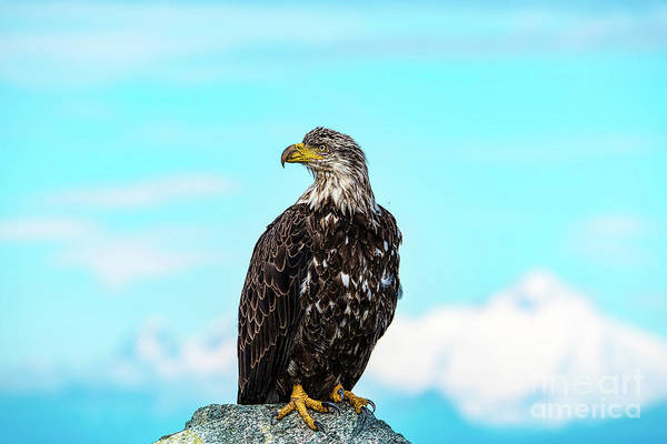 Eagle Photograph - Redoubt Eagle by Dave Simon