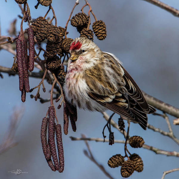 Photograph - Redpoll Perching On The Alder Twig Searching For Seed In The Con by Torbjorn Swenelius
