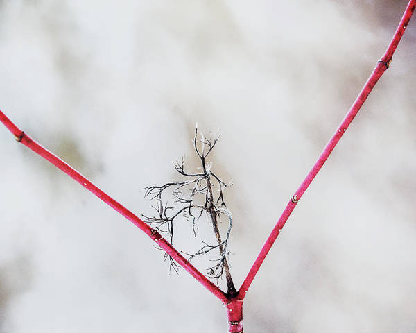 Wall Art - Photograph - Redtwig Y by Susan Capuano