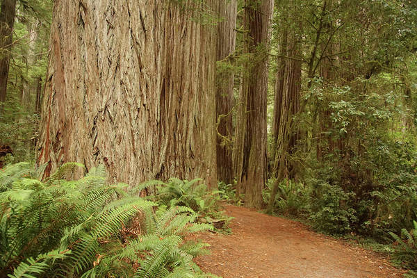 Photograph - Redwood Forest  Grove by Steve Estvanik