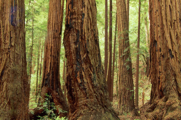 Wall Art - Photograph - Redwood Forest by Soli Deo Gloria Wilderness And Wildlife Photography