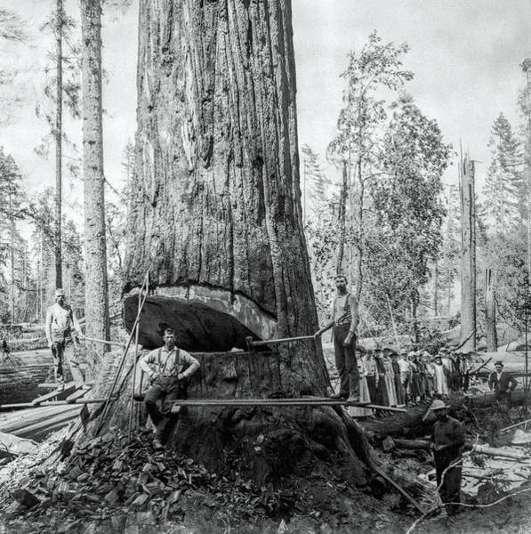 Wall Art - Photograph - Redwood Lumberjack Field Trip C. 1880 by Daniel Hagerman