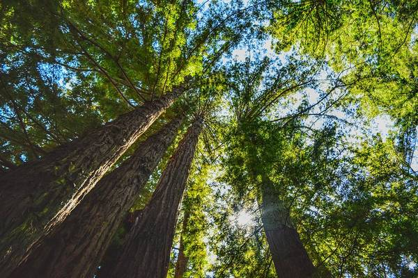 Photograph - Redwood Magic by Chance Kafka