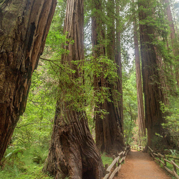 Wall Art - Photograph - Redwood Pathway Muir Woods California by Betsy Knapp