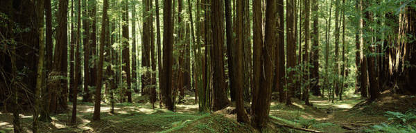 Wall Art - Photograph - Redwood Trees Armstrong Redwoods St by Panoramic Images