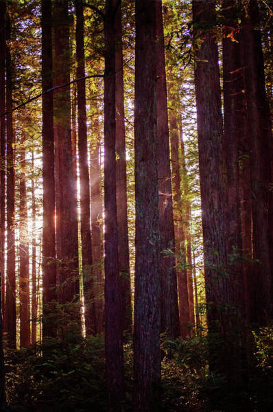 Photograph - Redwood Twilight by Tikvah's Hope