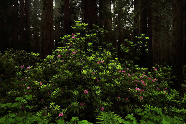 Photograph - Redwoods And Rhododendrons by TL Mair